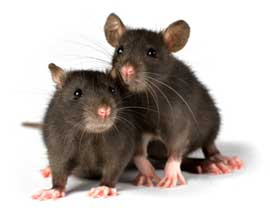 two-rats_01